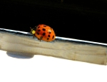 Ladybug on Window Sill, Karen Laslo, Photography
