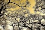 """Karen Laslo, """"Valley Oak Canopy in Winter"""""""