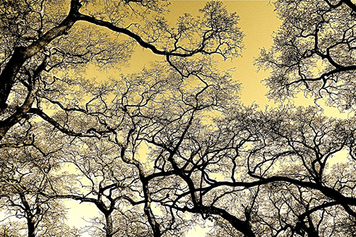 "Karen Laslo, ""Valley Oak Canopy in Winter"""