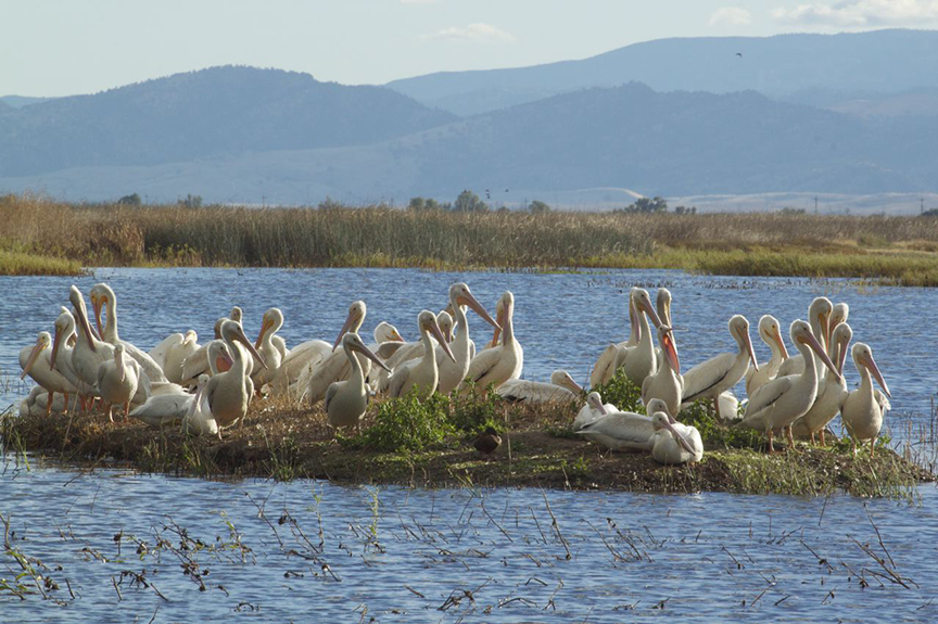 White Pelicans, Karen Laslo, Photography