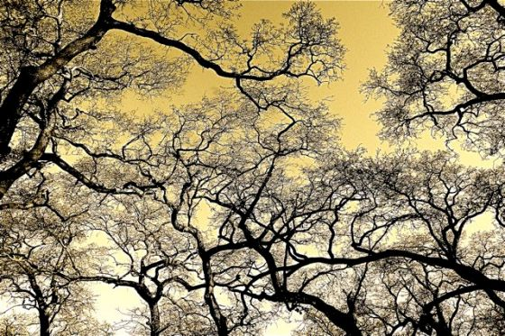 Oak Canopy In Winter