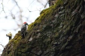 _MG_4076Nuttall's WoodPecker
