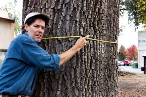 Charles Withhun measures the Oak