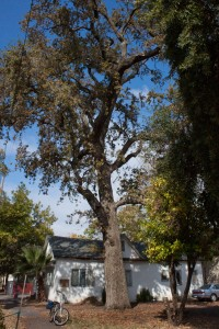 Valley Oak to be removed unless public speaks up