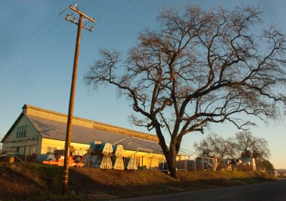 King Industries' 300 year old Valley Oak - in the path of PG&E too.