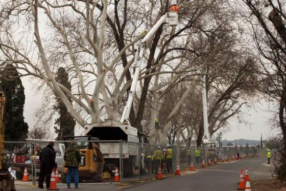 PG&E don't waste time - 3 trees get cut at the same time.