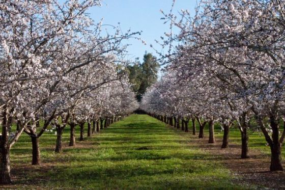 Almond orchard along the Midway near Chico