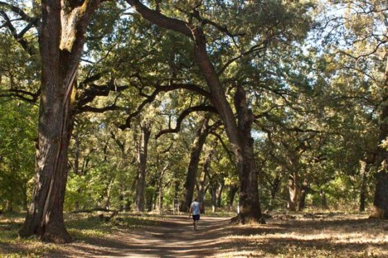 Valley Oaks, Bidwell Park