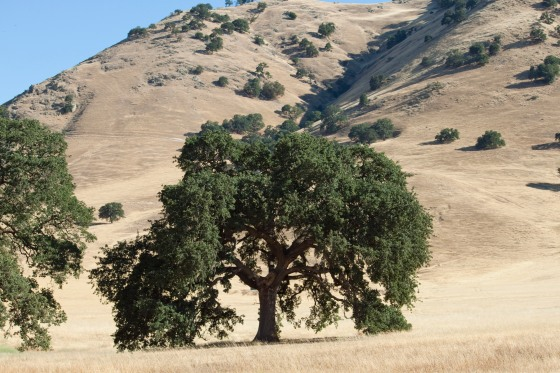 Valley Oak, south side of Sutter Buttes