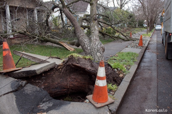 An English Walnut Street Tree tumbled over barely missing 2 houses but pulled the sidewalk up about 3 feet.